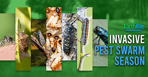 Invasice_Pest_Swarm_Season_Blog